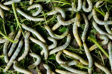 Free Silk Worms Stock Photos - 16305703