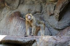 Free Barbary Macaque Royalty Free Stock Images - 16305789