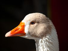 Free Head Of Duck Royalty Free Stock Photography - 16306137