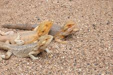 Free Bearded Dragons Stock Photography - 16306612