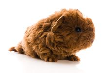 Free Guinea Pig. Baby Stock Images - 16309464