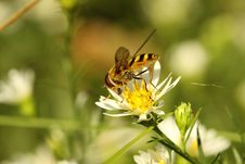 Free Virginia Flower Fly (Milesia Virginienis) Stock Photography - 16309532