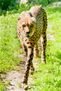 Free Cheetah (Acinonyx Jubatus) Royalty Free Stock Photography - 16317317