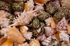 Free Seashells . Stock Photography - 16311162