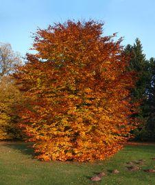 Free Autumnal Beech Tree Royalty Free Stock Photos - 16312028
