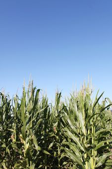 Corn Against A Clear Blue Sky Stock Images