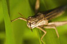 Free Grasshopper Royalty Free Stock Photos - 16313308