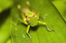 Free Grasshopper Royalty Free Stock Image - 16313326