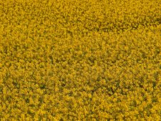 Blooming Yellow Rape Field Royalty Free Stock Photo