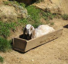 Free Nubian Goat In Feeder Royalty Free Stock Images - 16313699
