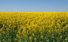 Free Rape Field Stock Images - 16314274