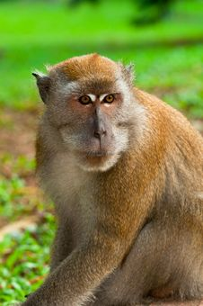 Free Male Macaque Royalty Free Stock Photography - 16314687