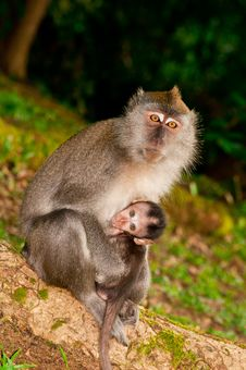 Free Nursing Wild Macaque Royalty Free Stock Photography - 16314757