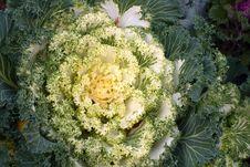 Free Flowering Kale Stock Photos - 16314803