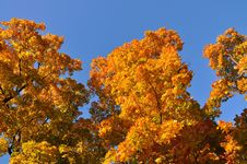 Free Autumn Trees Royalty Free Stock Images - 16314879