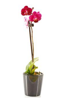 Free Phalaenopsis Stock Images - 16315744