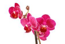 Free Phalaenopsis Stock Photo - 16315780