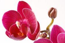 Free Phalaenopsis Royalty Free Stock Images - 16315859