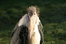 Free Marabou Stork Stock Photos - 16315953