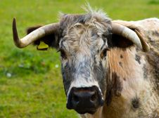 Free Cow Royalty Free Stock Image - 16315966