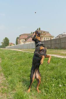 Flying Dog Stock Images