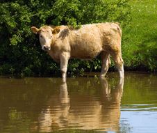 Free Cow Stock Photos - 16316313