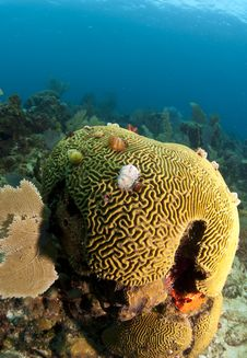 Free Coral Reef Brain Coral Stock Photo - 16316680