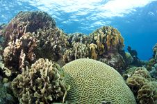 Free Coral Reef Brain And Lettuce Coral Royalty Free Stock Photos - 16316698