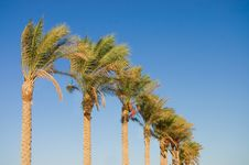 Free Date Palm Tree Against The Sky Stock Photography - 16316832