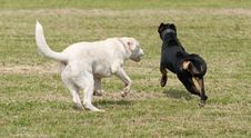 Free Two Dogs Playing Stock Photography - 16317142