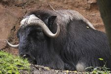 Free Muskox Royalty Free Stock Photography - 16317257