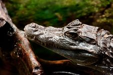 Free Cayman (Caiman) Stock Photography - 16317292