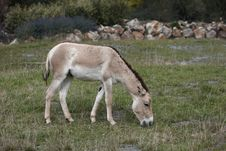 Free Onager Stock Photography - 16317912