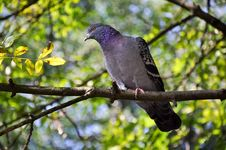 Free Pigeon Royalty Free Stock Photography - 16318937