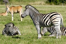 Free Group Of Zebras Stock Photos - 16319633