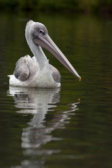 Free Pelican Stock Photo - 16319960