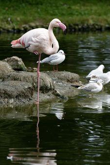 Free Flamingo Royalty Free Stock Image - 16319986