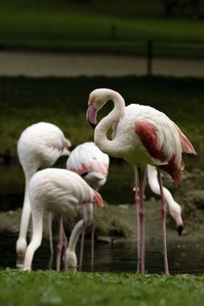 Free Flamingos Royalty Free Stock Photos - 16319998