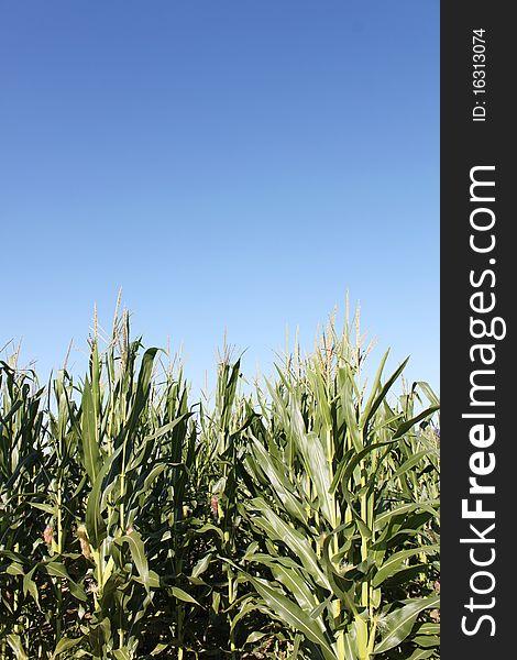 Corn Against a Clear Blue Sky