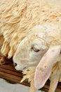 Free Sheep Park Grass Head Royalty Free Stock Photo - 16327105