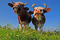 Free Cows On A Summer Pasture. Royalty Free Stock Photos - 16327748