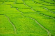 Rice Paddyfield Royalty Free Stock Images