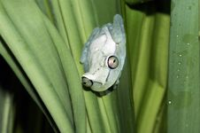 White Frog Stock Image