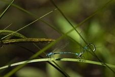 Free Dragonflies Mating Royalty Free Stock Photos - 16320148