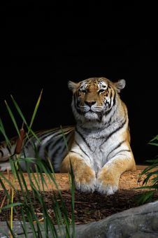 Free Tiger In The Sun Royalty Free Stock Photos - 16320198
