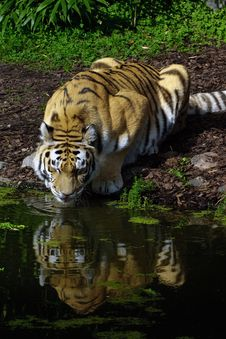 Free Tiger Drinking Stock Images - 16320224