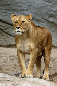 Free Solitary Lion Royalty Free Stock Photos - 16320268