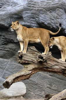 Free Lions On Tree Stock Photo - 16320290