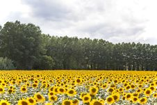 Free Sunflowers Stock Image - 16321751