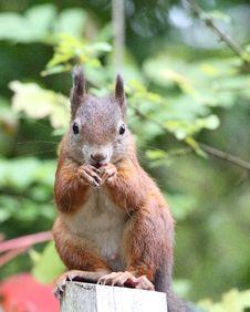 Free Squirrel (sciurus Vulgaris) Stock Image - 16322291